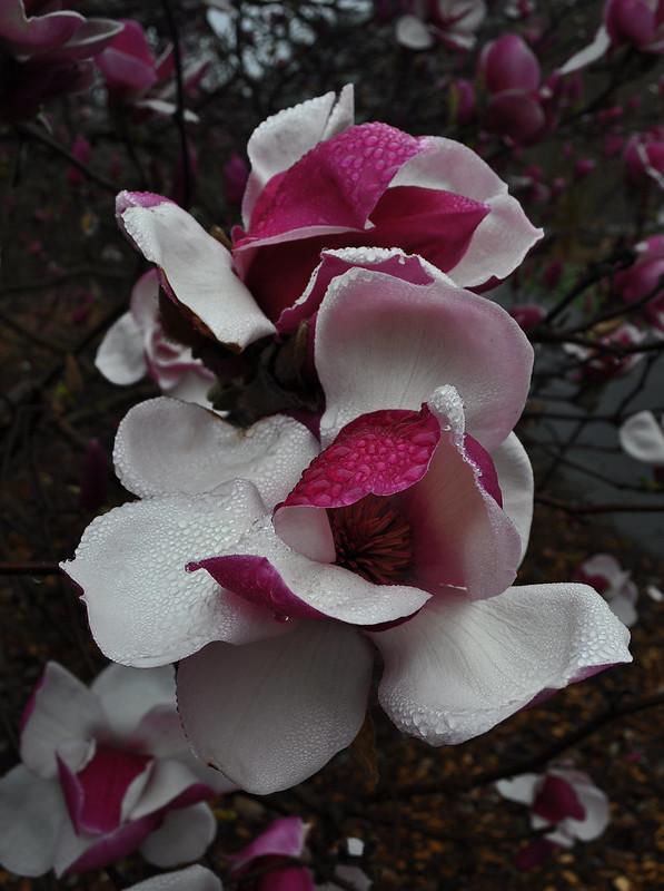 Magnolia x 'Todd Gresham' (7)