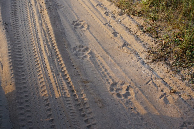 Pug marks and tyre tracks