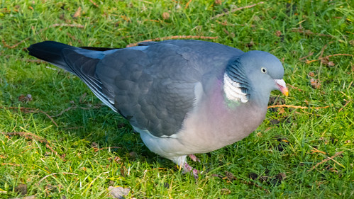 Wood pigeon pecking at a lawn