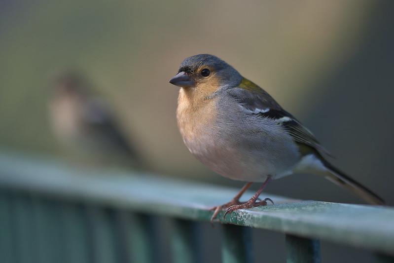 Madeira bird