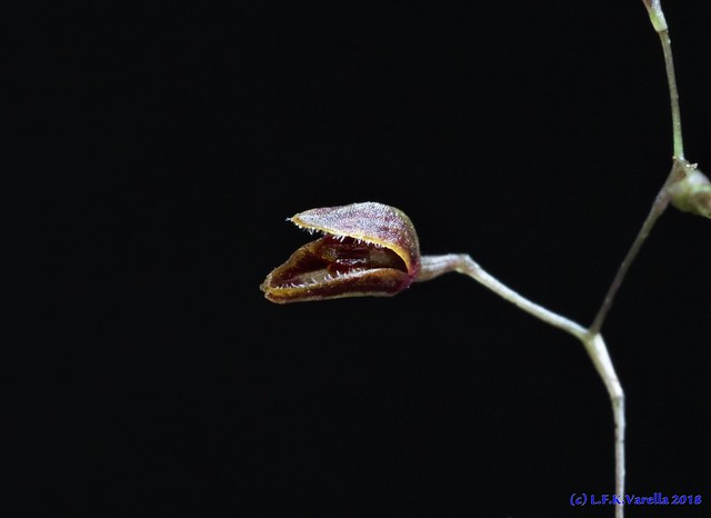 Pabstiella sordida