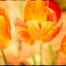 A Trinity of Tulips