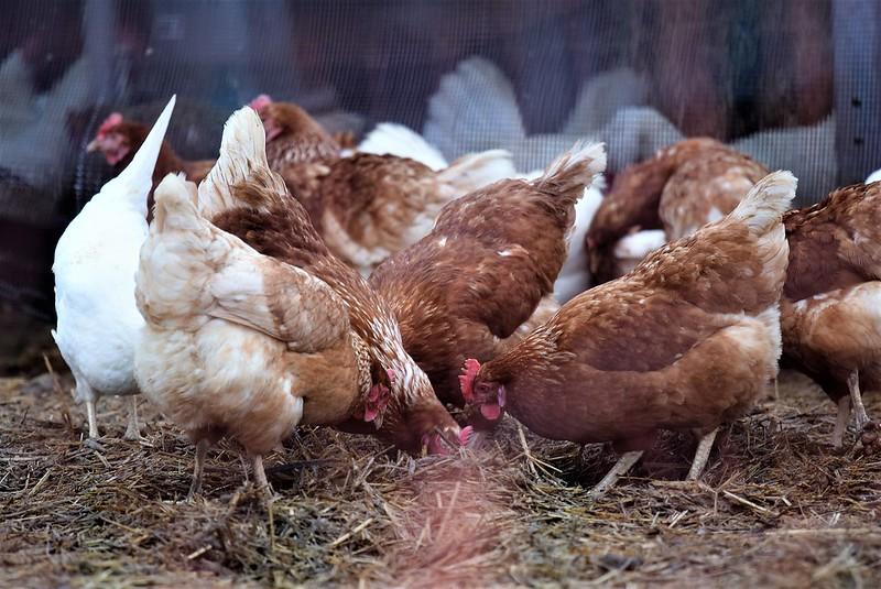 Chickens 21.01 (14)