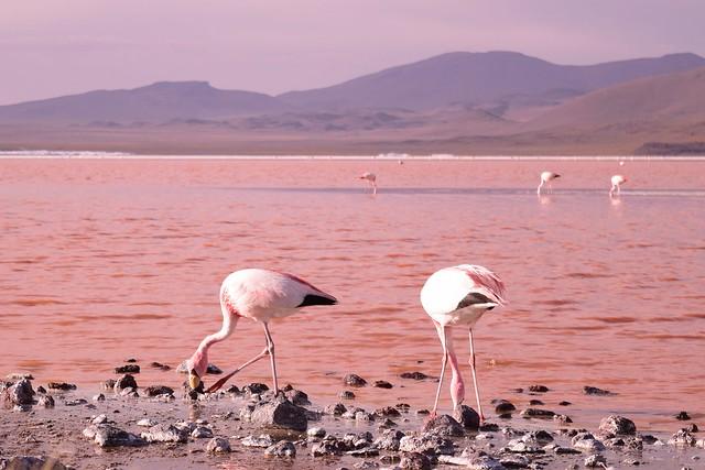 ピンクの湖にピンクのフラミンゴ
