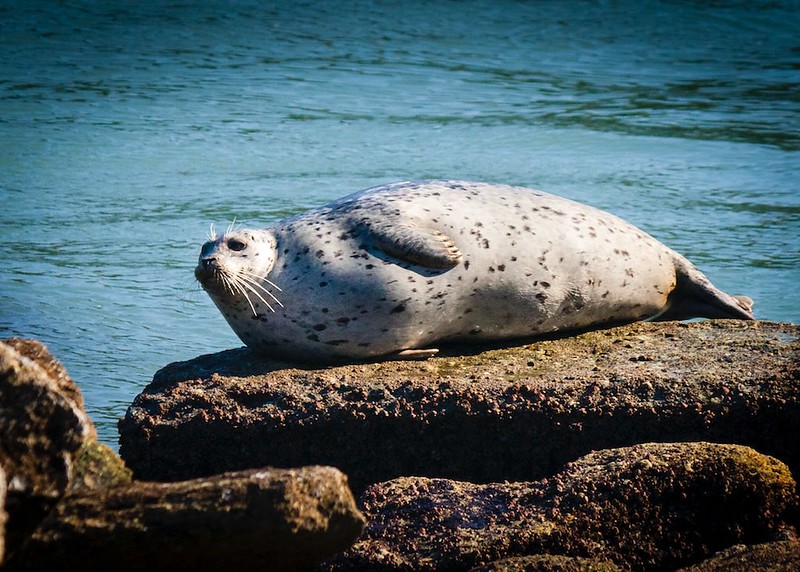 Harbor Seal Sunning, at Whalers Cove, Point Lobos, CA  (1)_