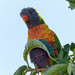 Rainbow Lorikeet_1