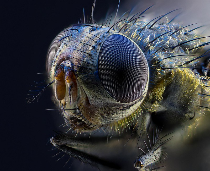 Focus Stacked House Fly
