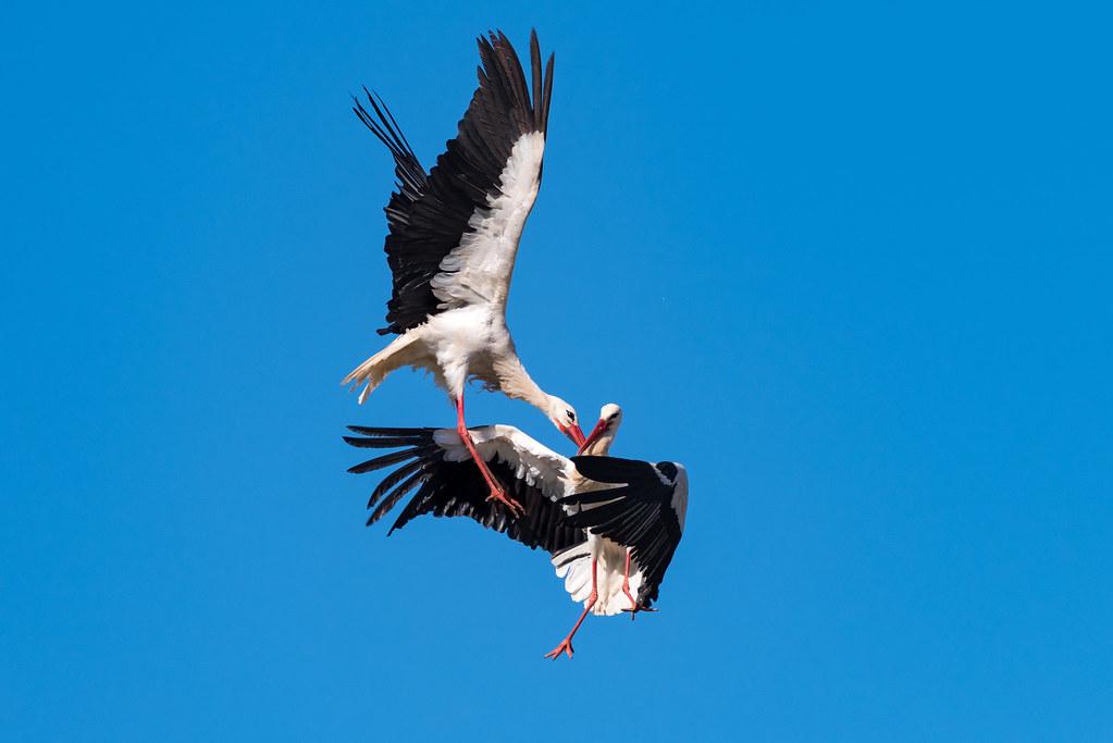 White Storks Fighting (Shot 8 of 11)