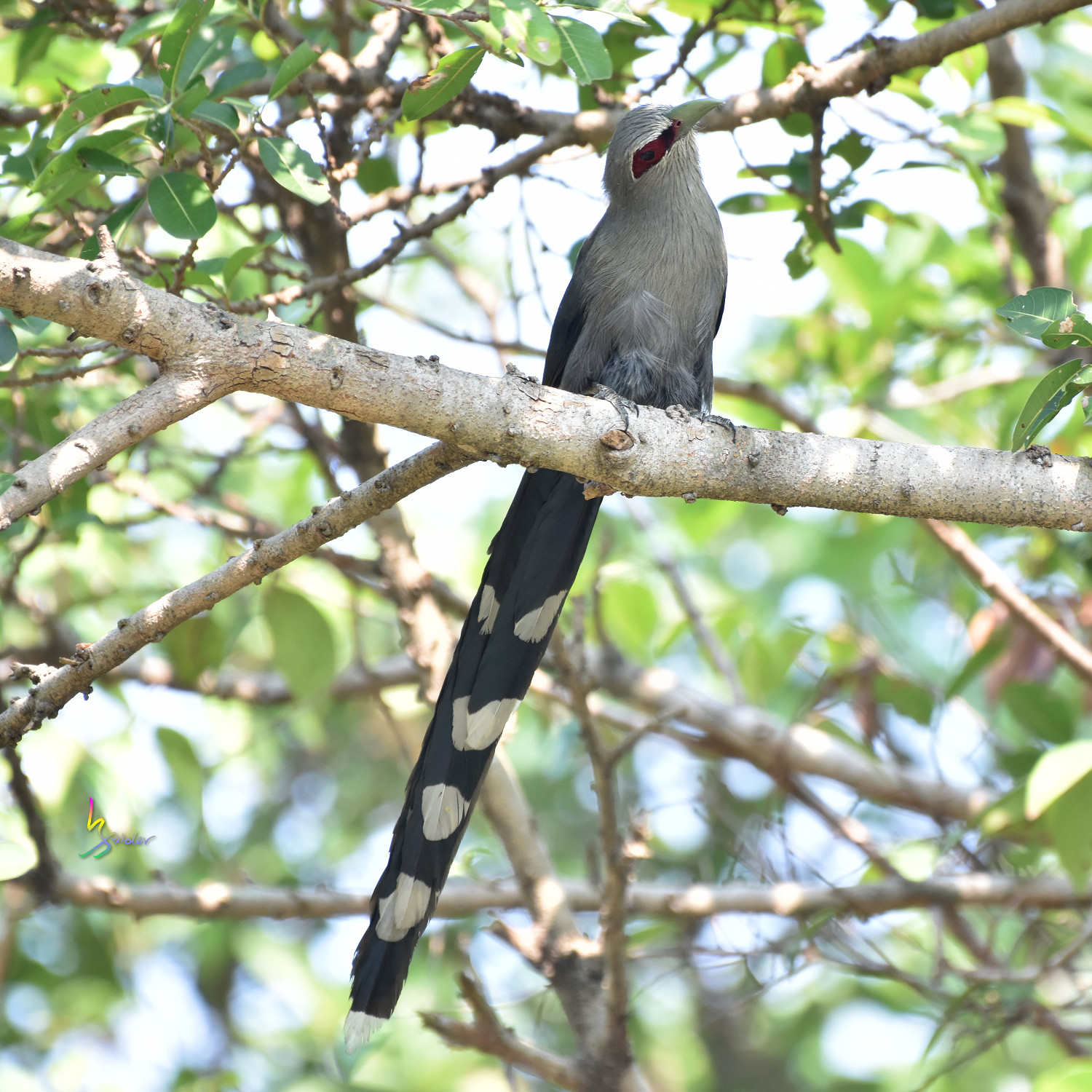 Green-billed_Malkoha_7801
