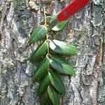 Swietenia mahagoni leaf and bark