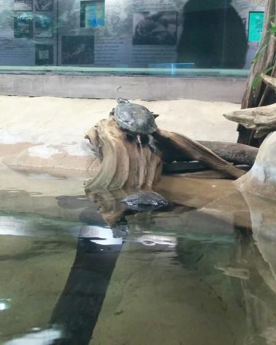 Midland painted turtle #toronto #torontozoo #turtle #midlandpaintedturtle #reptiles #latergram