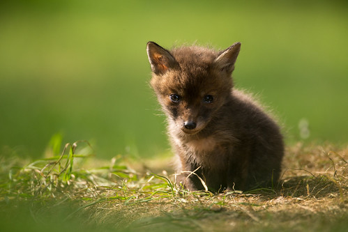 Friday fox cub