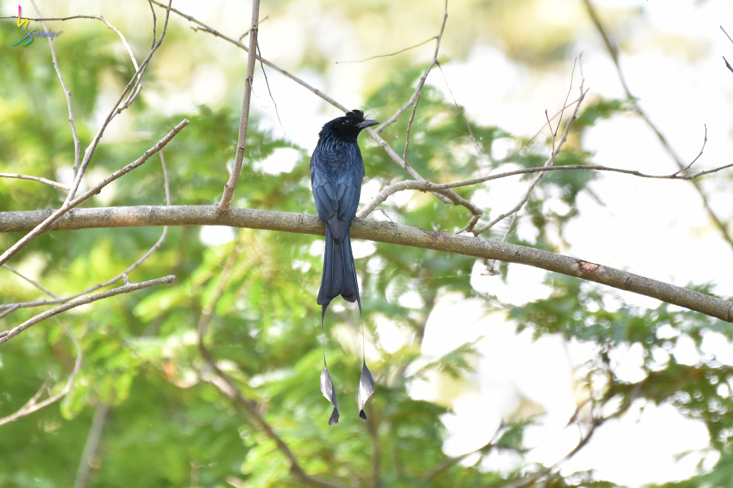 Greater_Racket-tailed_Drongo_2720