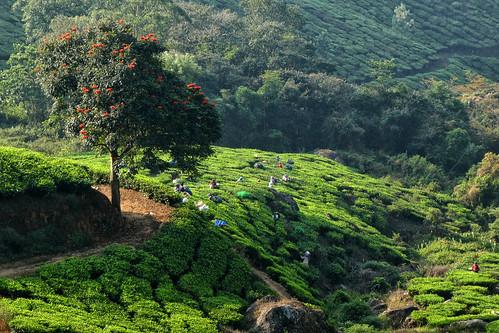 India - Kerala - Munnar - tea plantation and pickers