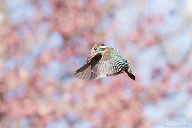 20180127-kingfisher-DSC_6182