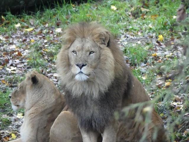 Löwe, GaiaZOO
