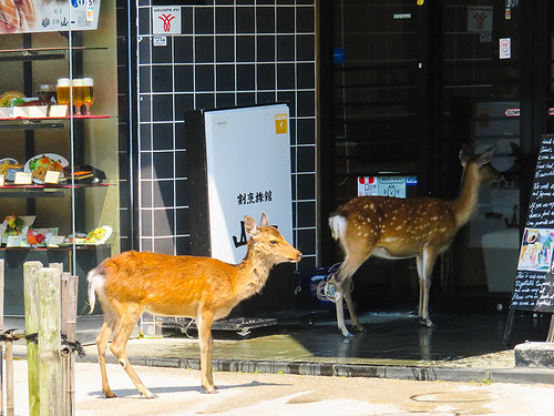 IMG_6510   Deer @ Miyajima Japan