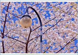 Blossoms and Lamp Post in Spring (Courthouse Hill in Arlington, VA)