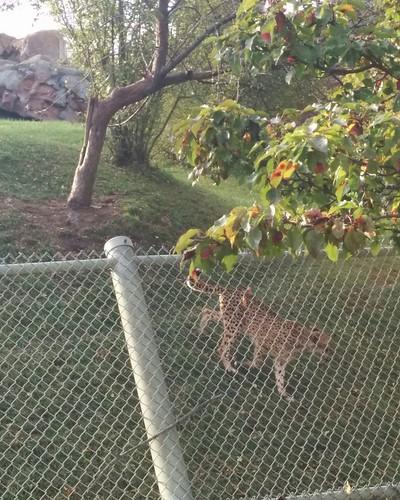 Cheetah #toronto #torontozoo #cats #cheetah #latergram