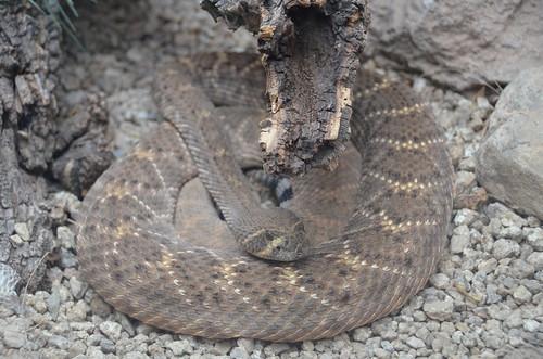 Desert Museum bad snake