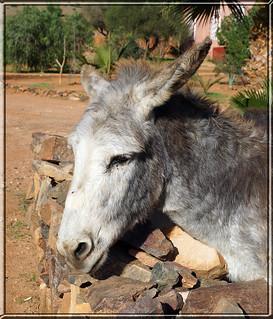 a Khenfouf donkey