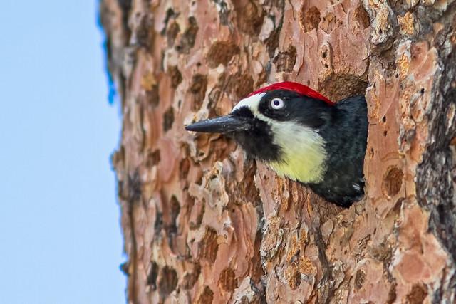 Acron-Woodpecker-9-15-2015-7d1_2505