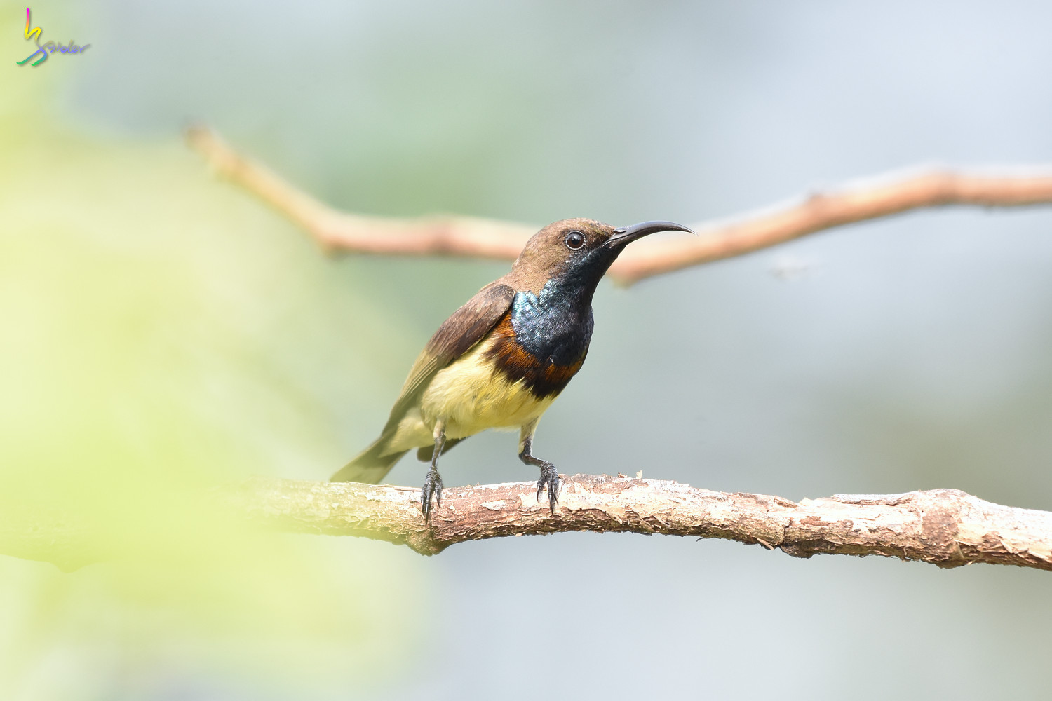Olive-backed_Sunbird_0817