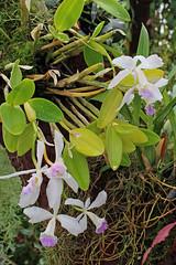 Guarianthe skinneri (Bateman) Dressler& W.E.Higgins (Syn. Cattleya skinneri var. alba Rchb.f.) - BG Meise