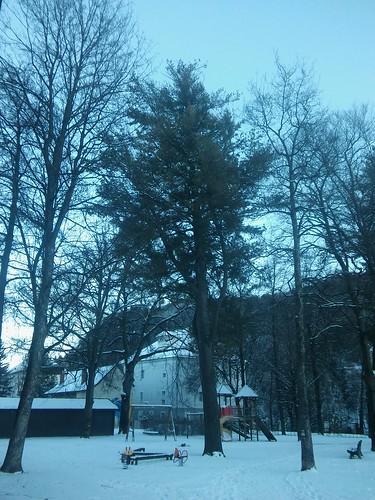 Pinus strobus 20180118_160322