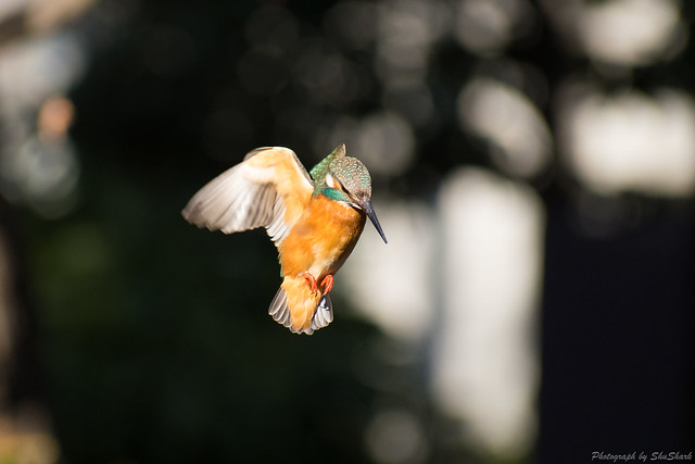 20180125-kingfisher-DSC_5460
