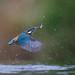 Kingfisher - IJsvogel - Alcedo atthis -1462