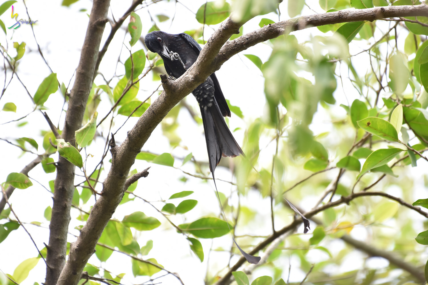 Greater_Racket-tailed_Drongo_1326