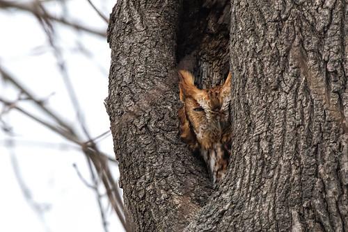 ma.screech owl.9846
