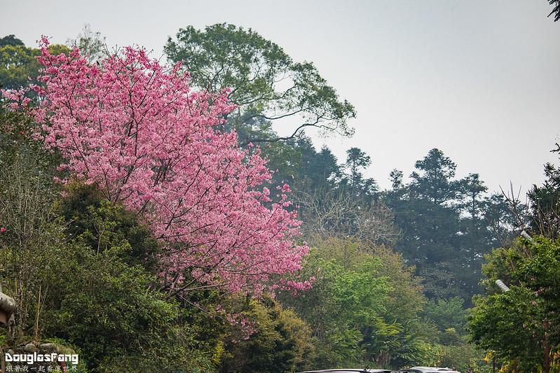 【遊記】南投鹿谷鳳凰自然教育園區賞櫻花 (24)