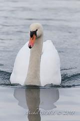 Cygne tuberculé - Cygnus olor - Mute Swan : Michel NOËL © 2018-2753.jpg