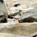 Solitary Redshank- Blackhall rocks