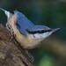Nuthatch. Sita europaea. Bluebell Woods. 25/01/2018 by Paul Dermot Gallagher