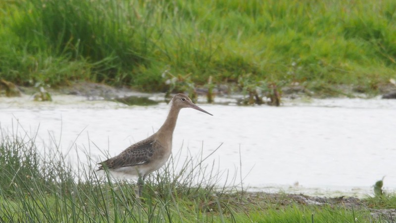 Release juvenile godwit by pool on lady fen WWT 2017