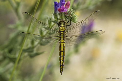Orthetrum cancellatum. Inmature male