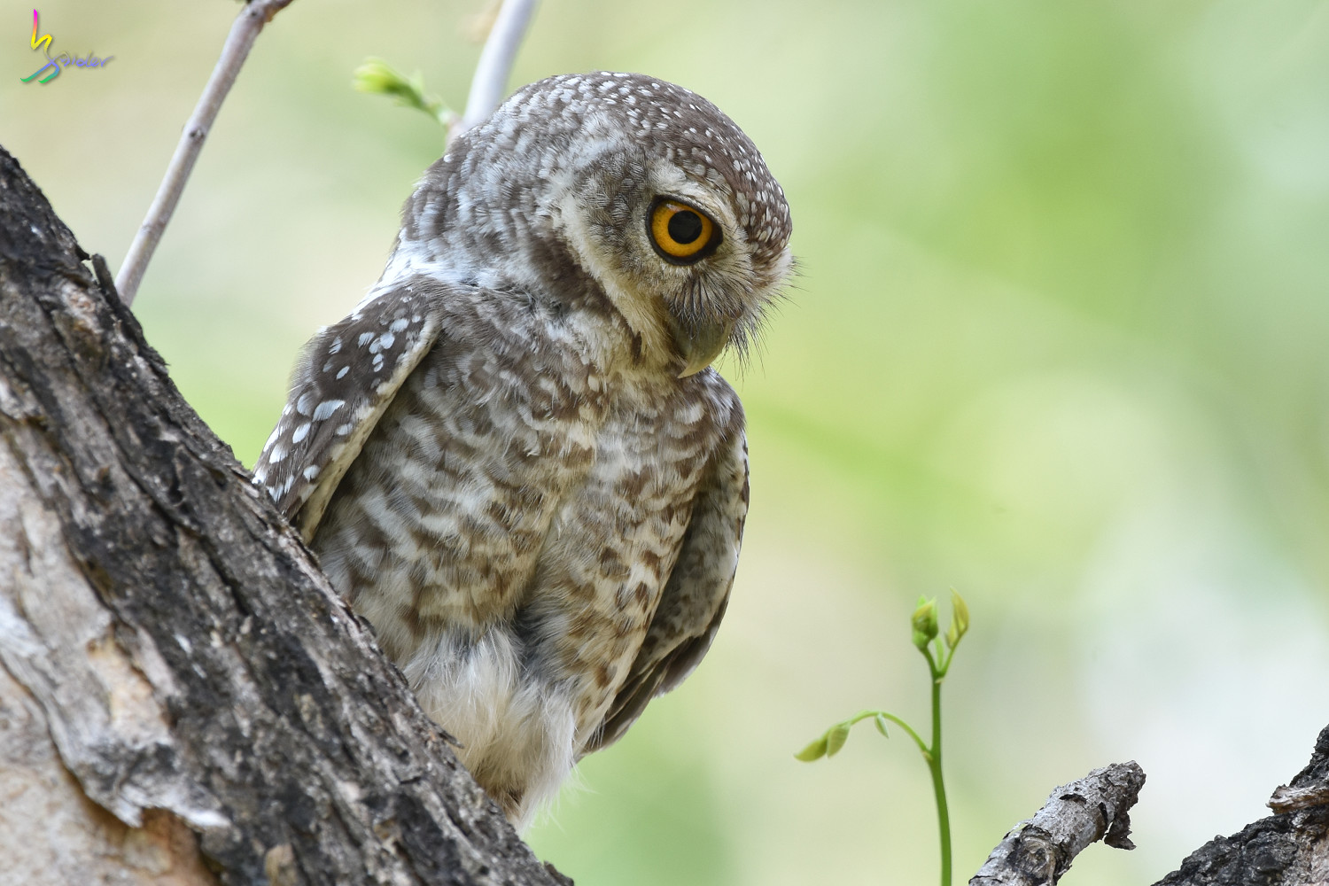 Spotted_Owlet_4907