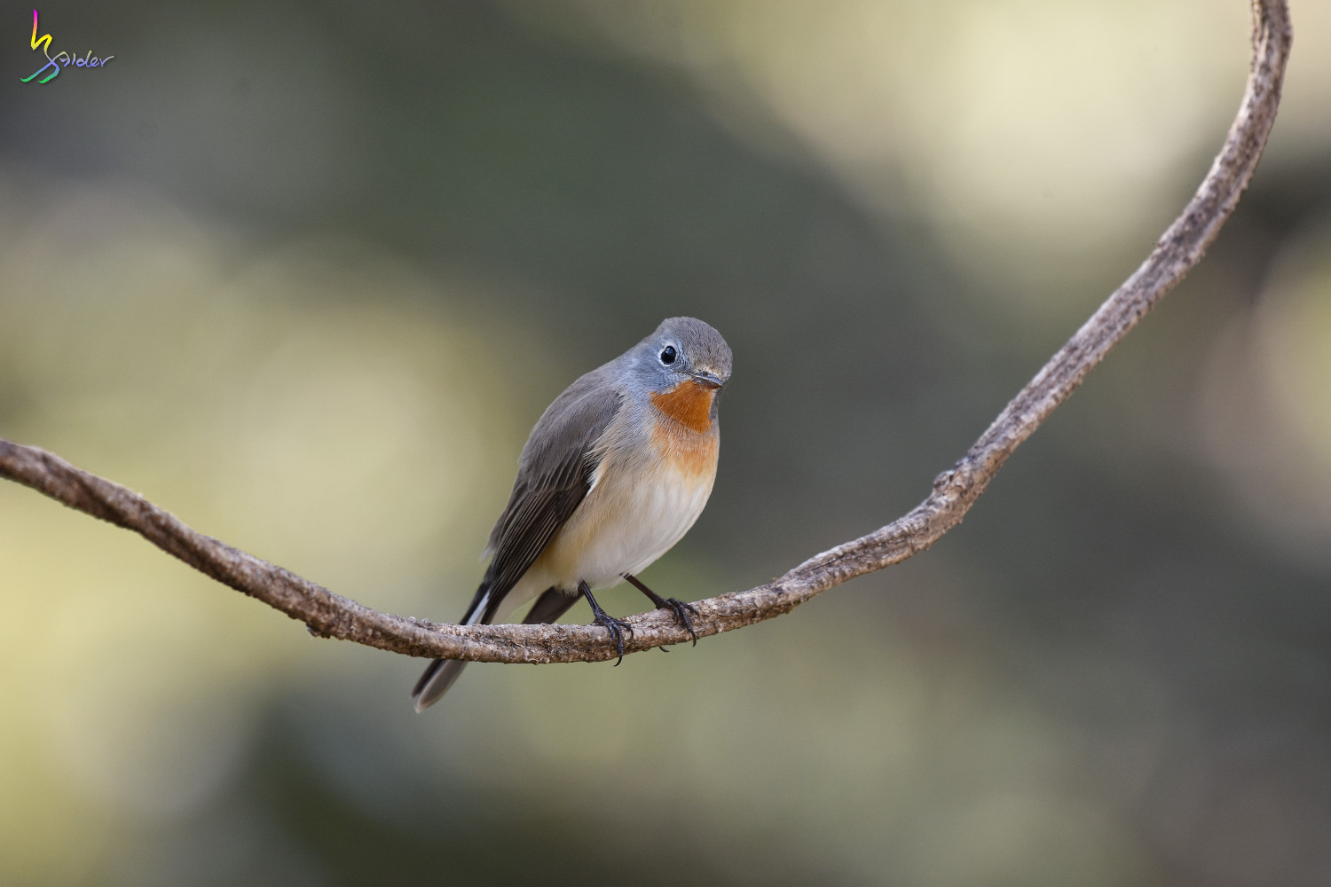 Red-breasted_Flycatcher_6810