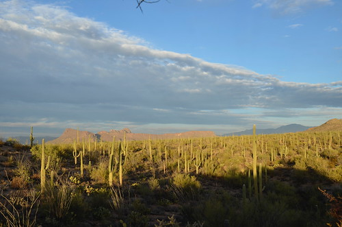 Tucson Gilber Ray Brown Mountain more saguaro forest