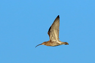 Eurasian Curlew, Shell Bay, Fife, Scotland