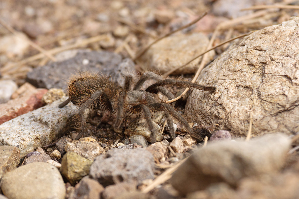 A tarantula walks across the Little Arsenic Trail in the Wind Rivers Recreation Area of Rio Grande del Norte National Monument in New Mexico