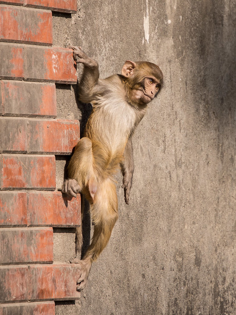 baby monkey showing off his climbing skills