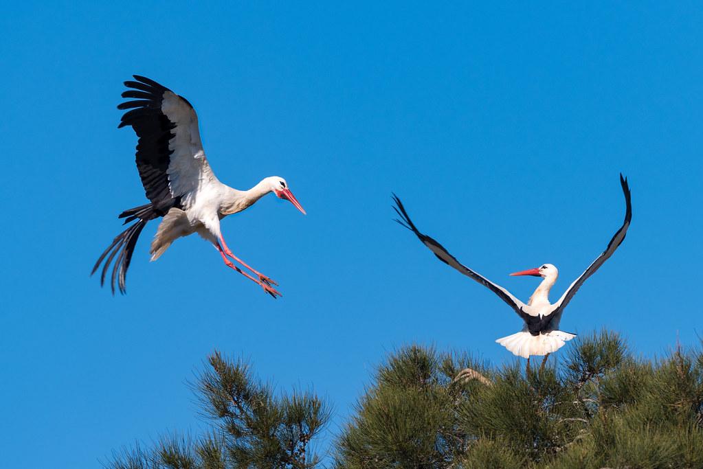 White Storks Fighting (Shot 1 of 11)