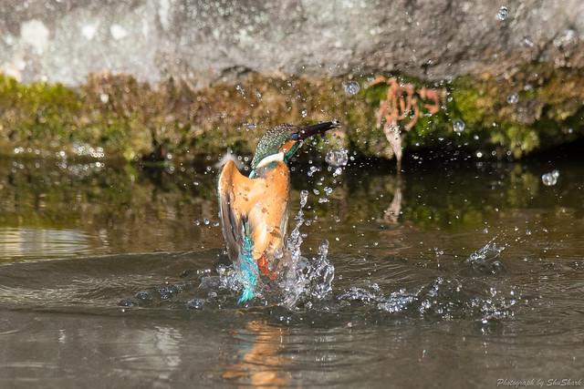 20180211-kingfisher-DSC_8203