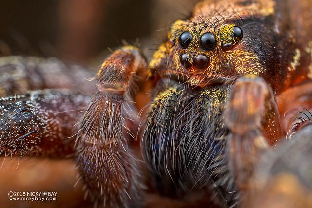 Wandering spider (Ctenus sp.) - DSC_8109b