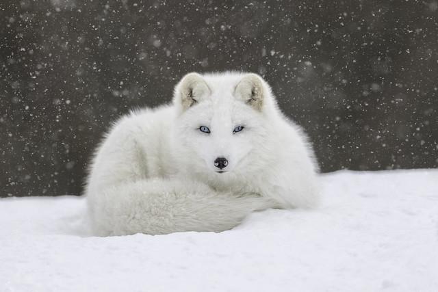 An Arctic Fox on, Nikon D850, AF-S VR Nikkor 600mm f/4G ED