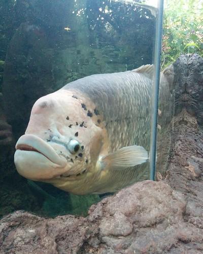 Sheepshead wrasse (2) #toronto #torontozoo #fish #sheepsheadwrasse #latergram